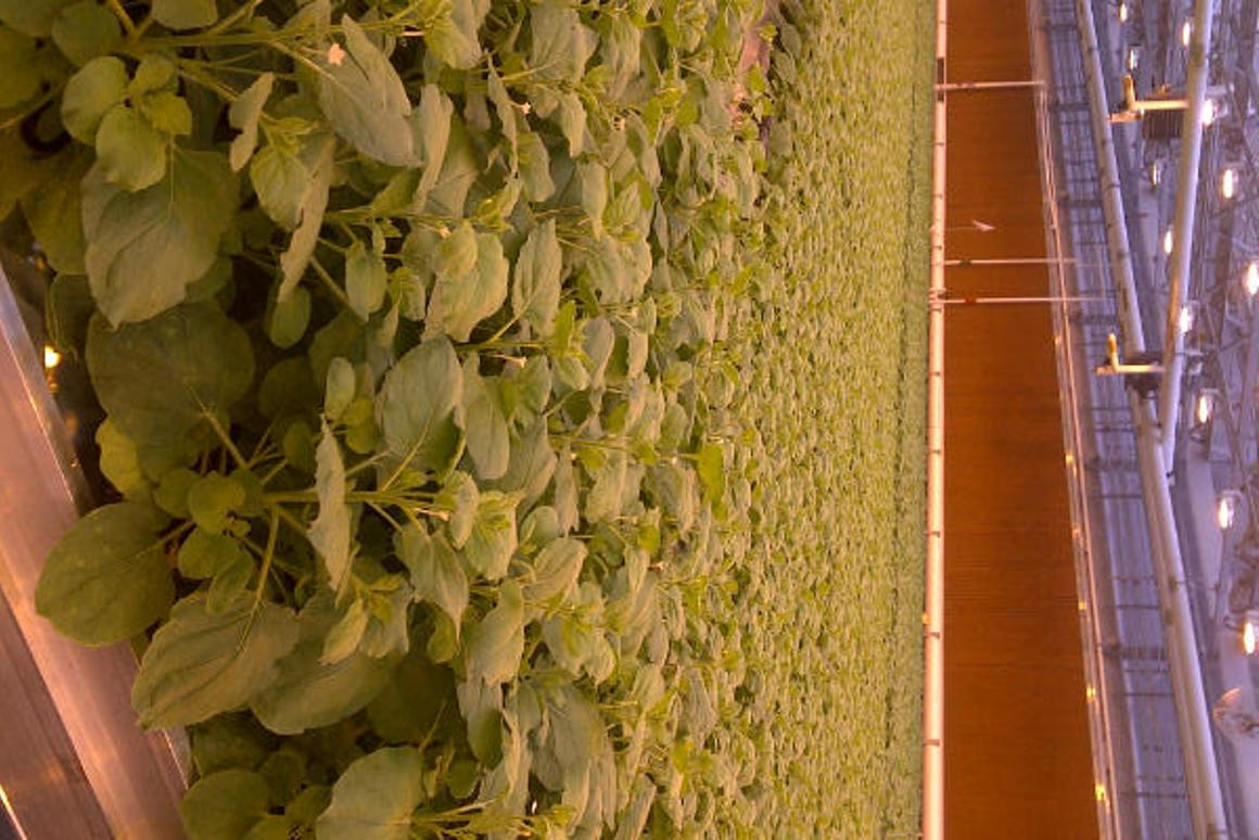 Tobacco plants used in the development of the vaccine