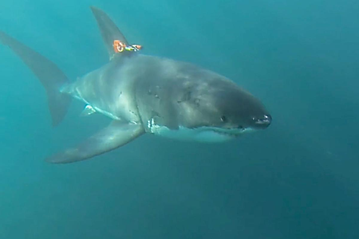 A great white models a prototype tag in South Africa
