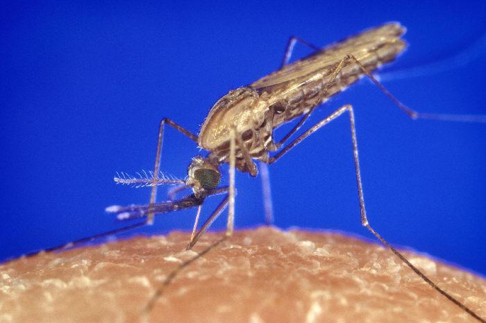 Anopheles Gambiae mosquito