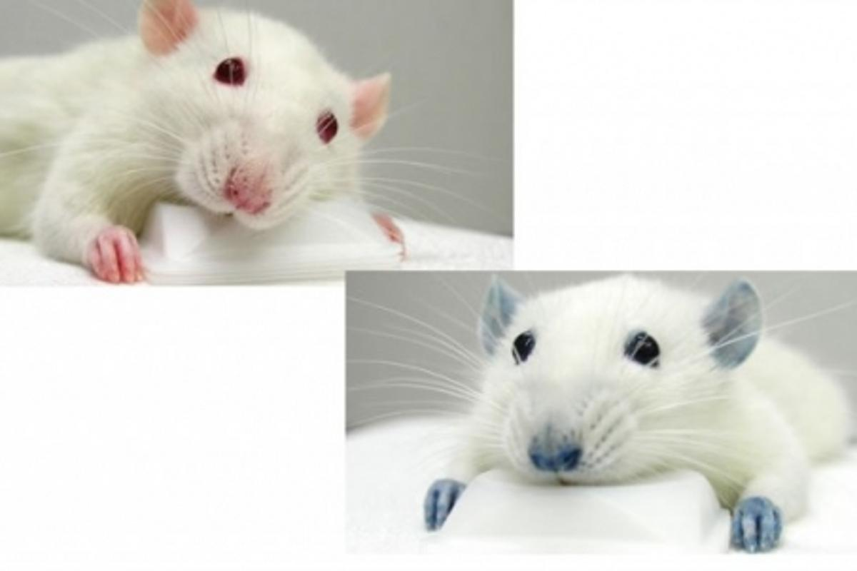One of the experimental rats, before and after injection with the blue food dye.