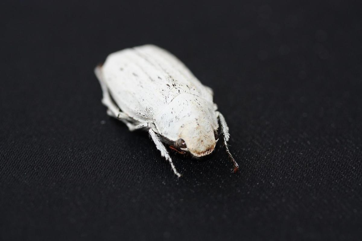 The Cyphochilus beetle, with its nice white scales