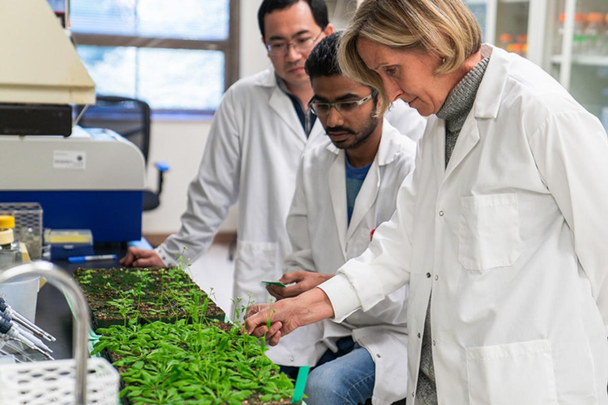 Xiaodong Yang (left), Hardik Kundariya (middle), and Sally Mackenzie (right), in the lab with the plants