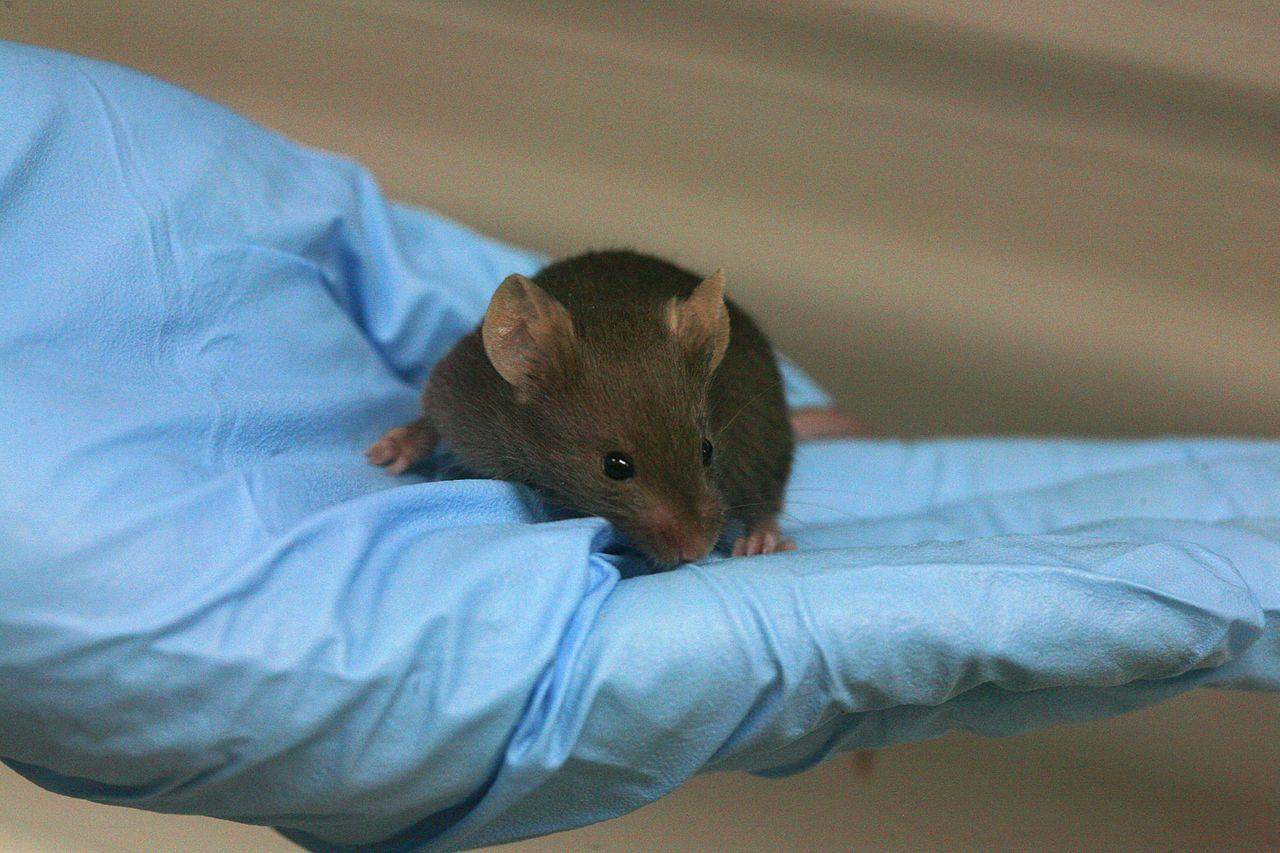 A protein that's more abundant in young mice appears to reverse the aging process in older animals (Photo: Rama)
