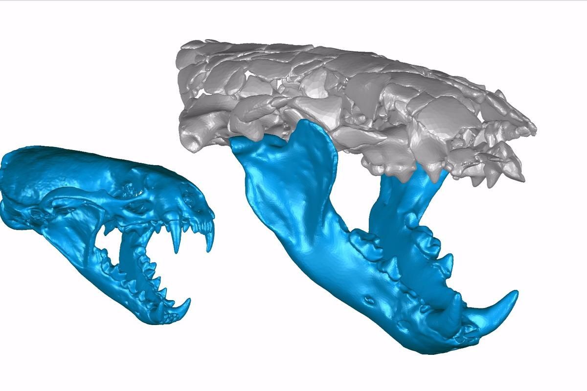 3D reconstruction of the skull and jaws ofSiamogale melilutra