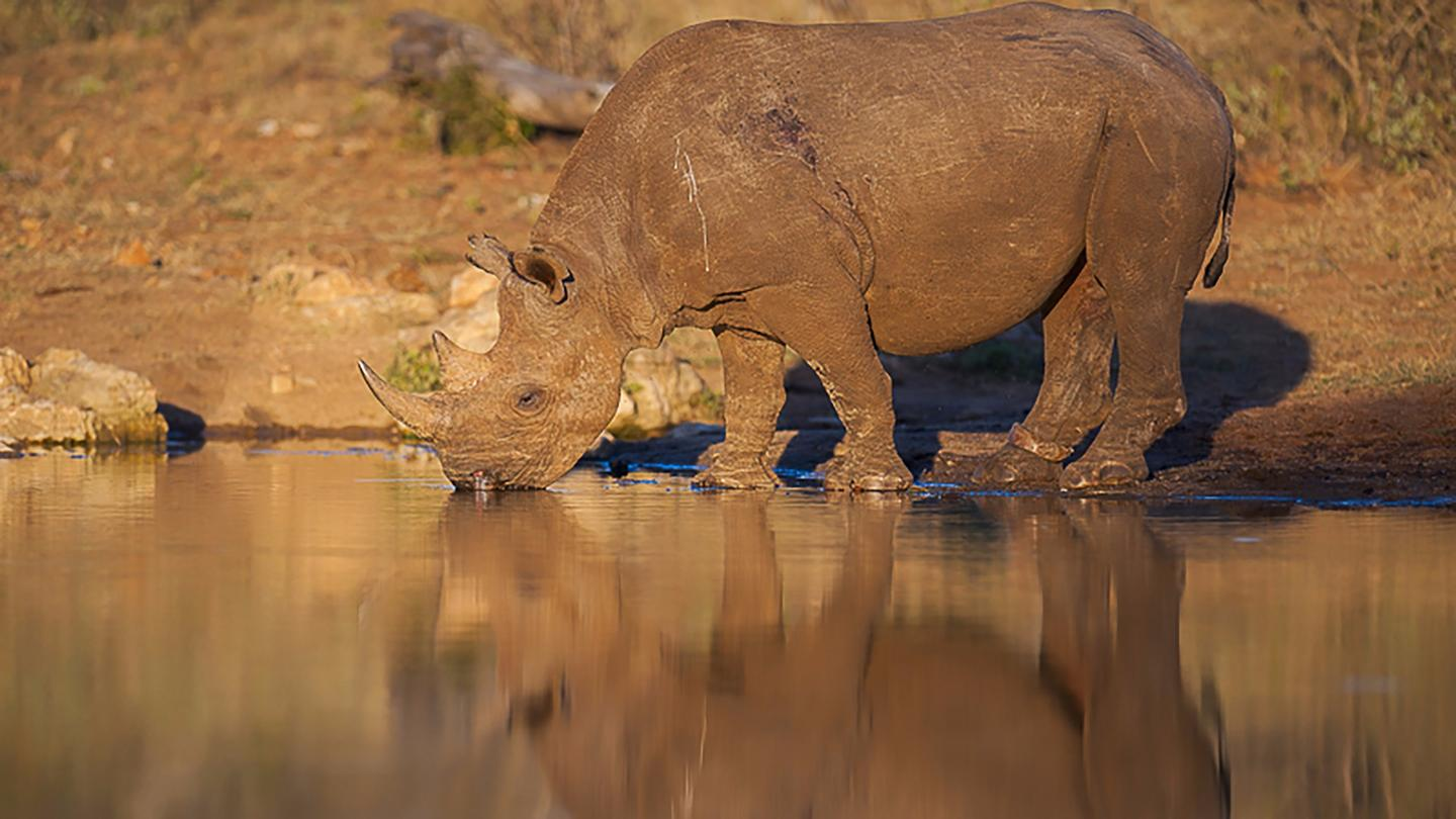 The team will then produce a fully annotated, open access version of the black rhino genome, allowing biologists, conservationists, historians and anyone else who so desires, access to the data
