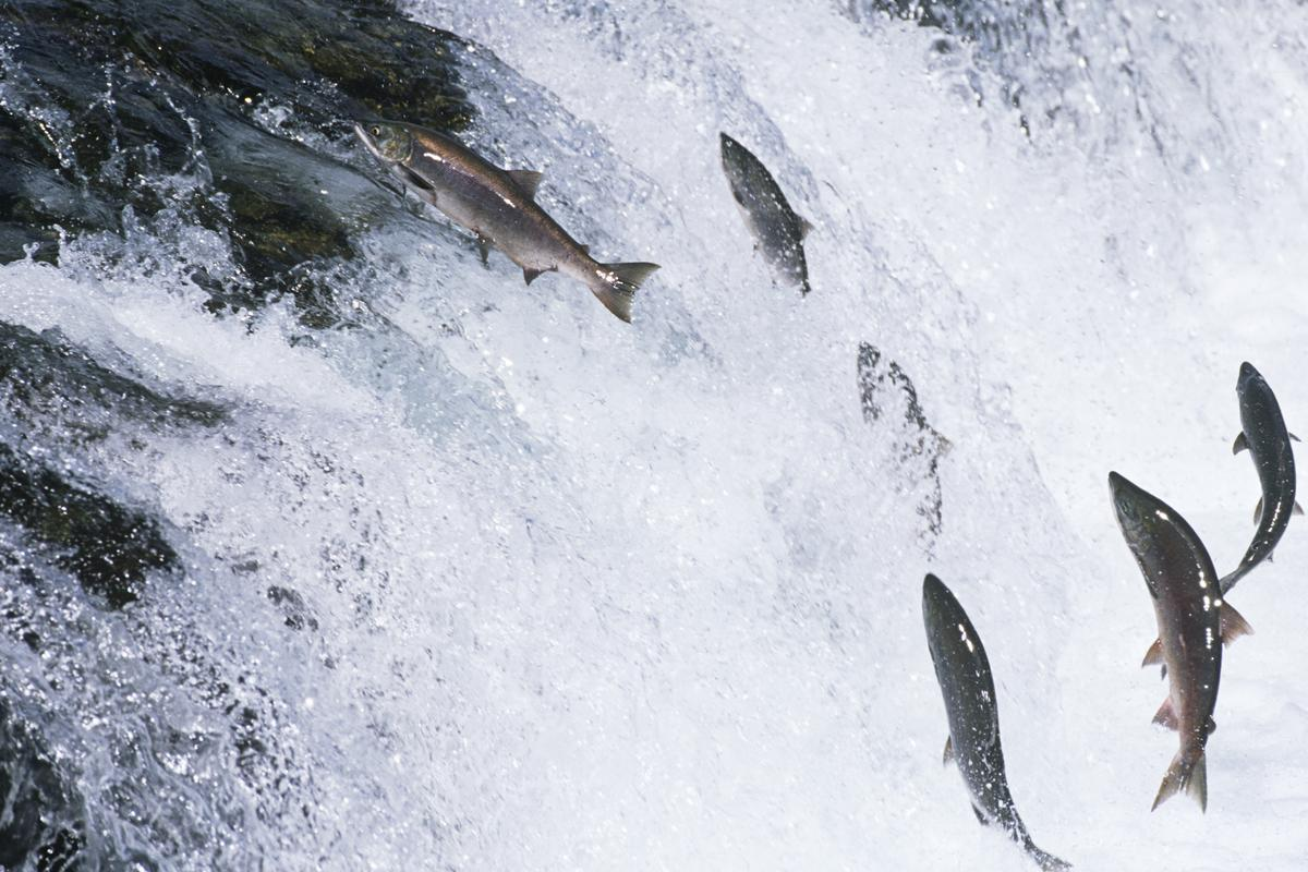 """Whoosh Innovations has developed a """"fish gun"""" to help salmon bypass man-made obstacles when making their way to spawning grounds (Photo: Shutterstock)"""