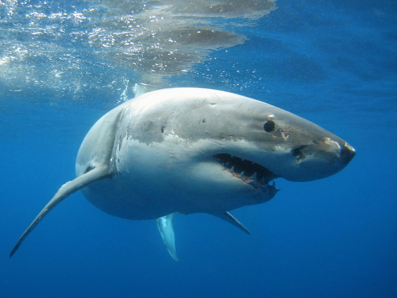 People could soon know if great white sharks are in the area, by testing the water for their cast-off DNA