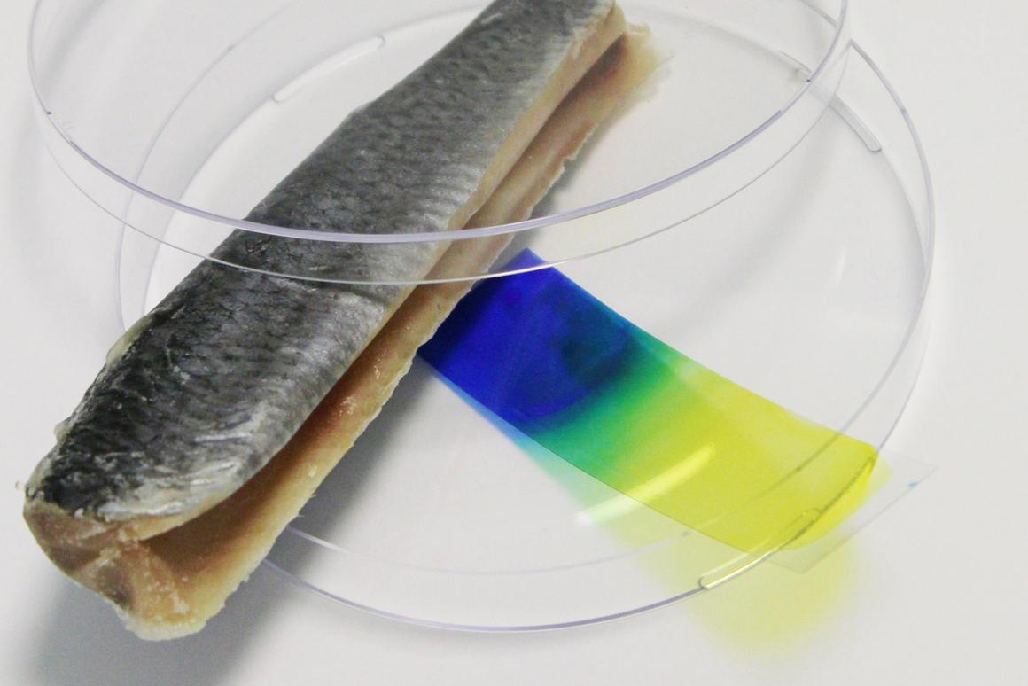 Don't eat that fish - the blue color of the indicator film indicates that it's spoiled (Photo: Fraunhofer)
