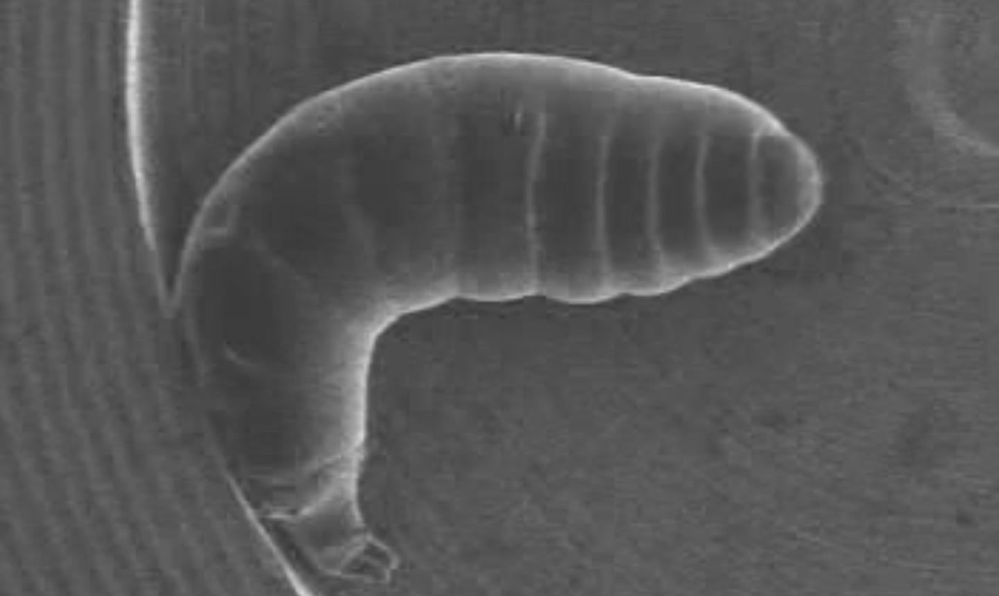 The movements of a fruit fly larva were observed under scanning electron microscope (Image: PNAS)