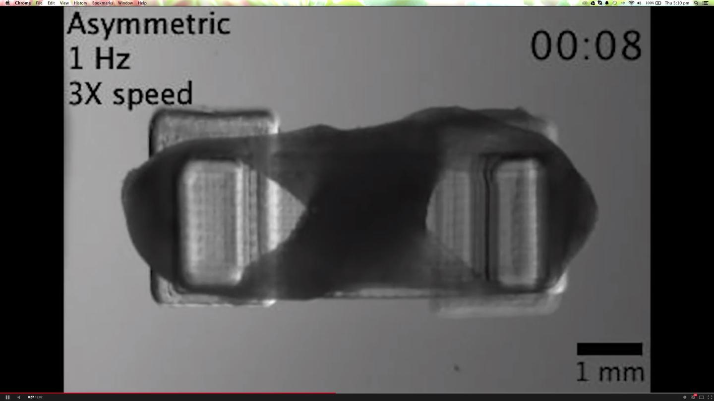Actual bio-robot showing the figure-8 shape of the muscle tissue