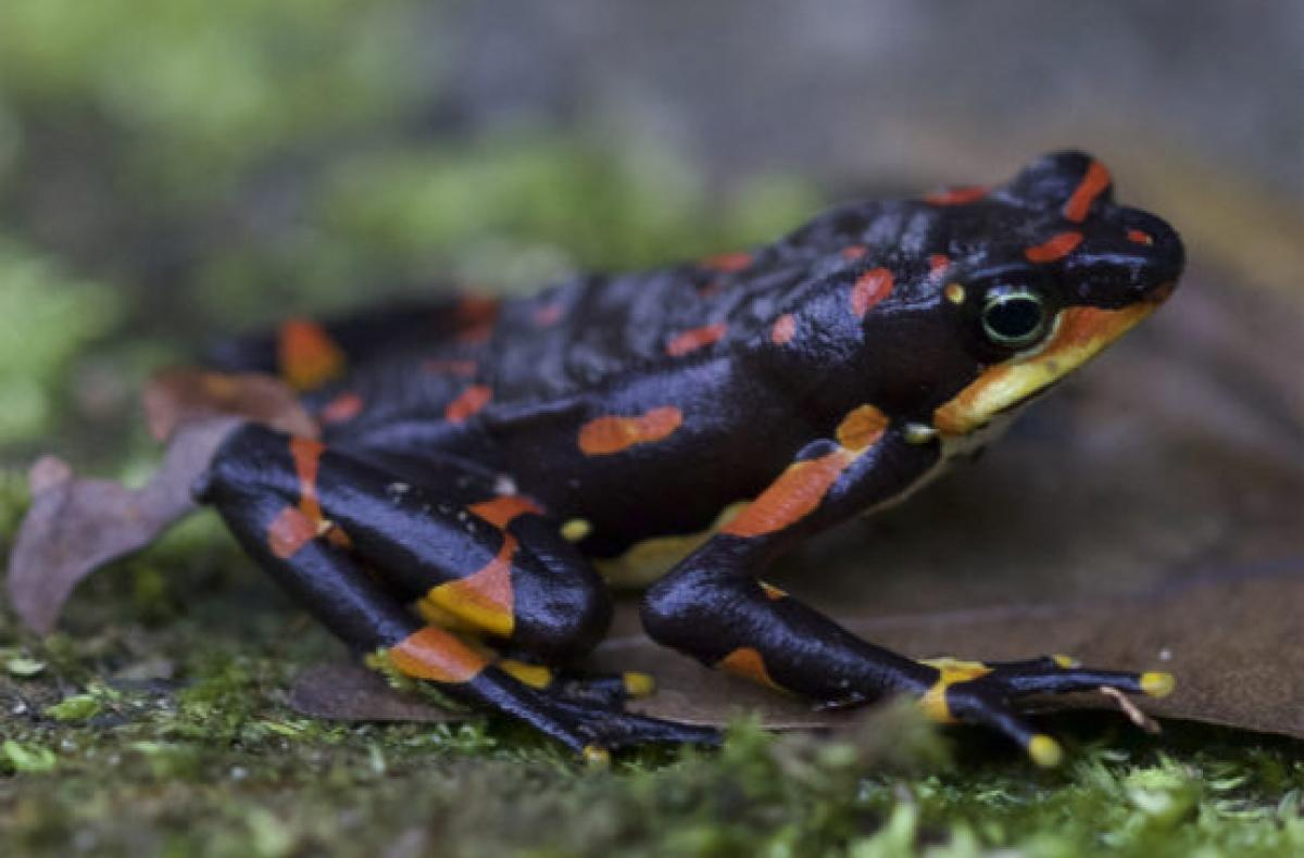 A new study has found endangered vertebrates around the world, such as Costa Rica's harlequin frog, are disappearing at unprecedented rates