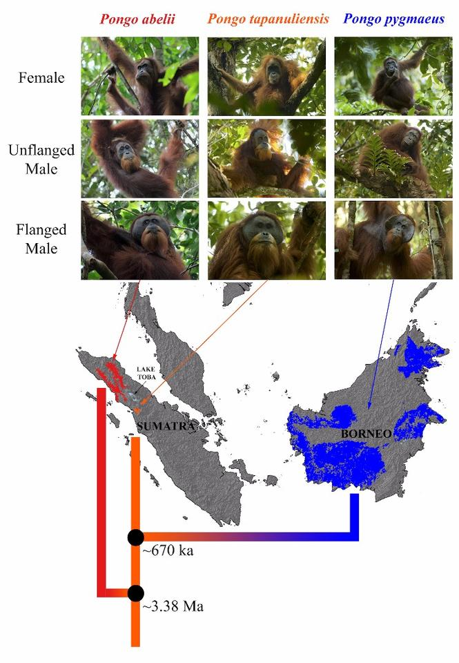A genomic study of the orangutans revealed that the Tapanuli population was the oldest evolutionary lineage, meaning they are direct descendants of the first population in Sumatra