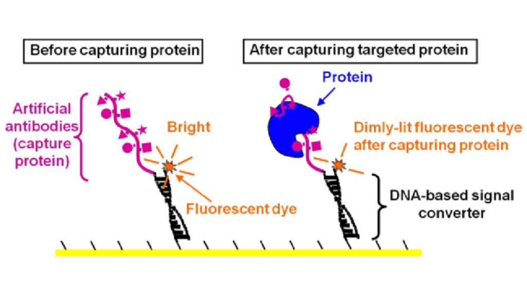 Structure of the DNA-based sensor for protein detection