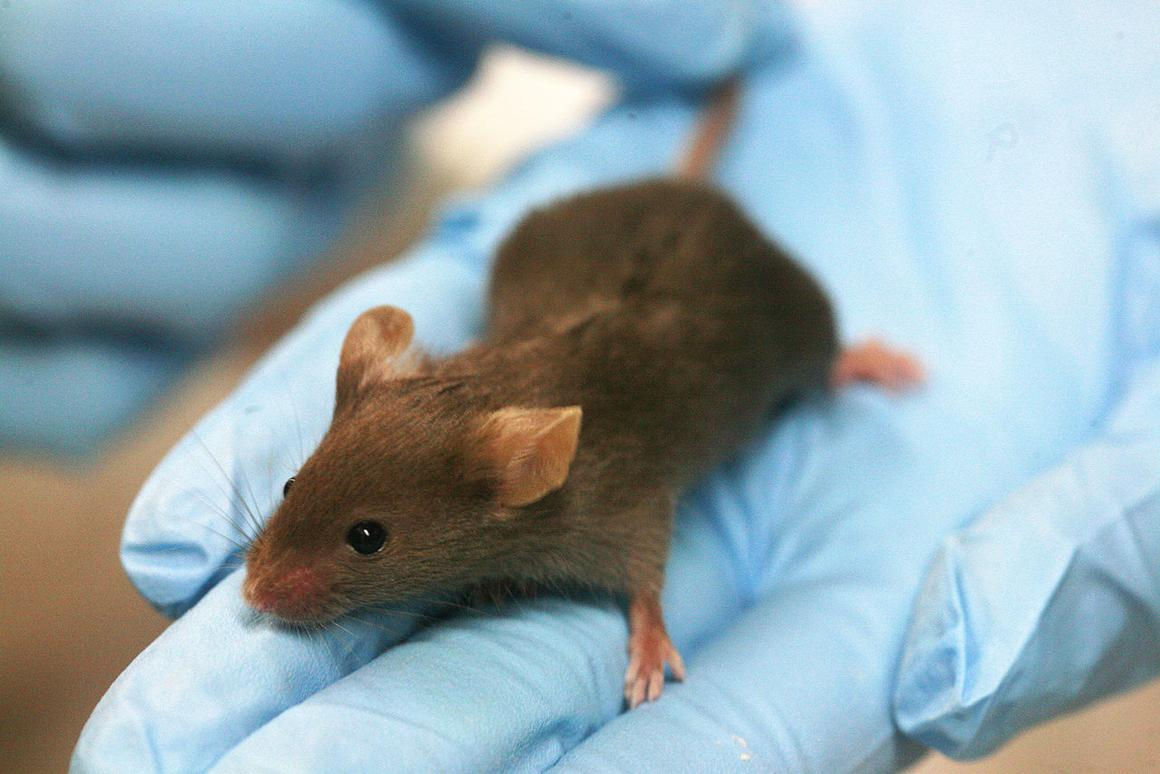 Researchers have regrown hair, cartilage, bone and soft tissues in a mouse model (Photo: Rama via Wikimedia Commons)