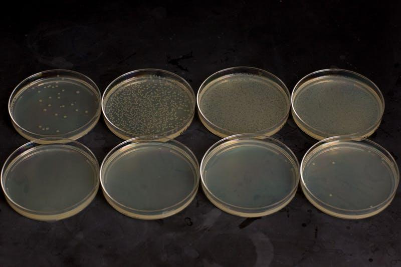 A demonstration of the Cryodeath kill switch: the top row are bacteria growing at four different dilutions at the intended 37ºC (98.6º F), while the bottom row is the same dilutions at lower temperatures, which kills the bug