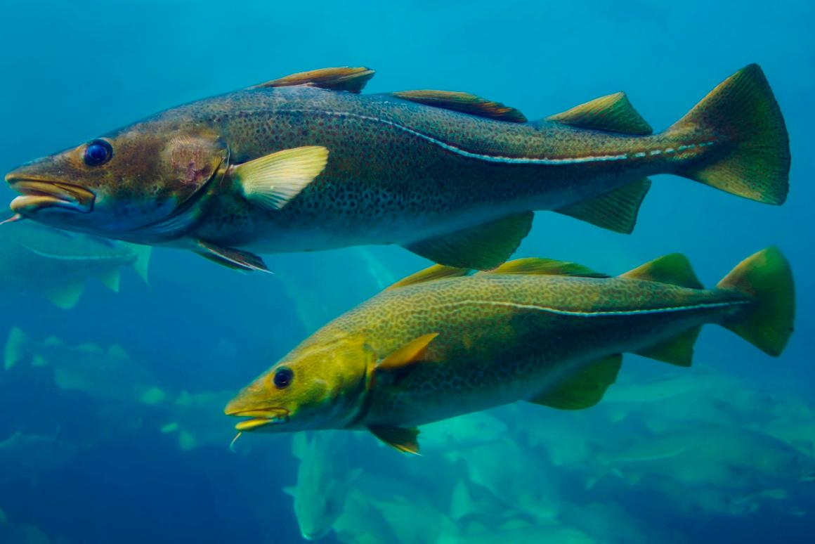 The presence of fish such as cod can be detected via their DNA