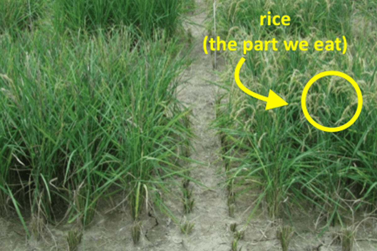 Field performance of unmodified Curinga rice (left) and promising transgenic strain 2580 (right)
