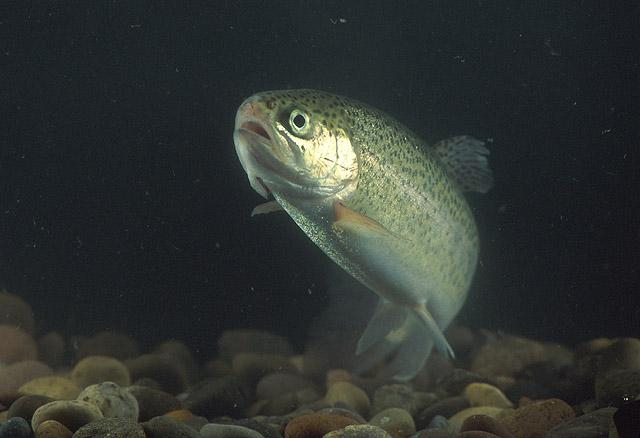 A new study suggests that exposure to titanium oxide nanoparticles causes rainbow trout to develop holes in their brains
