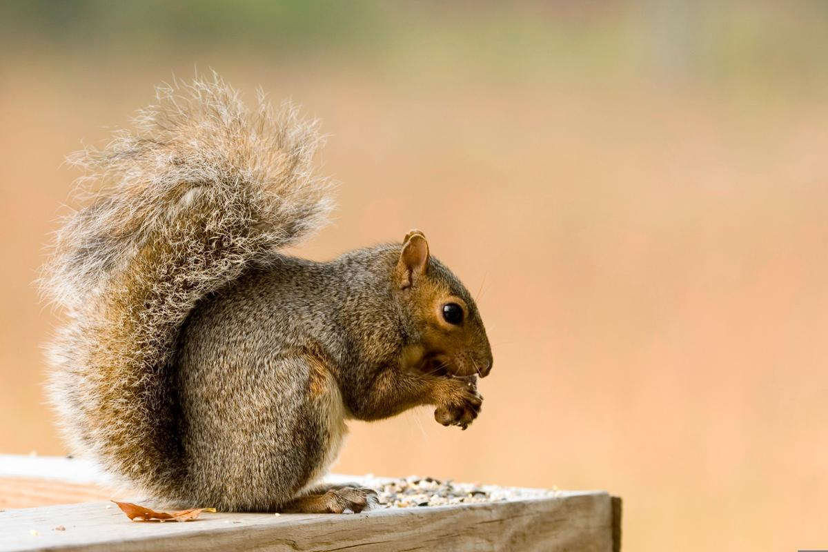 The findings might explain why squirrels are so good at surviving in cities, the researchers explain
