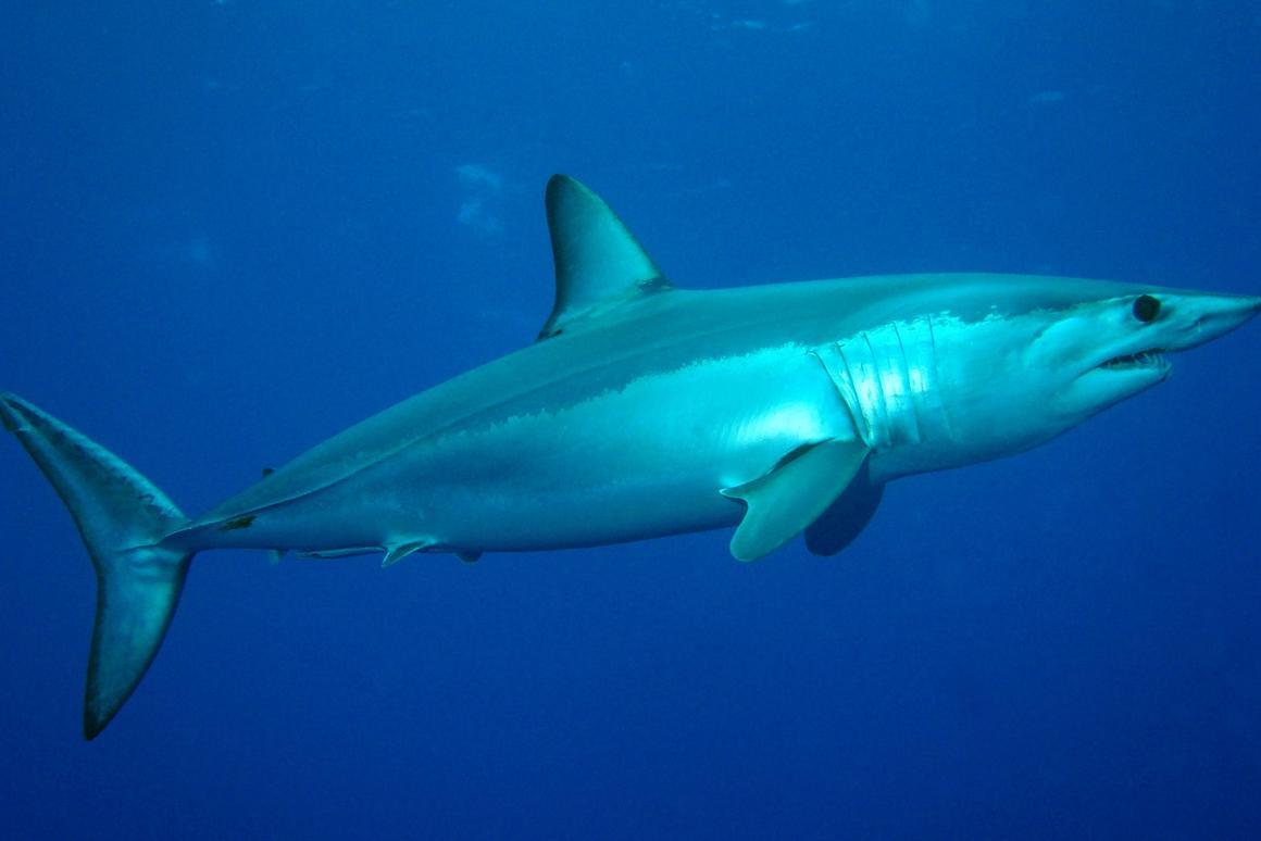 A shortfin mako shark in the North Atlantic, near the Azores
