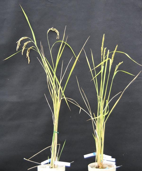 The rice plant on the left had its mitochondrial DNA edited to remove its infertility and can be seen bowing with extra seeds, compared to the unedited plant on the right