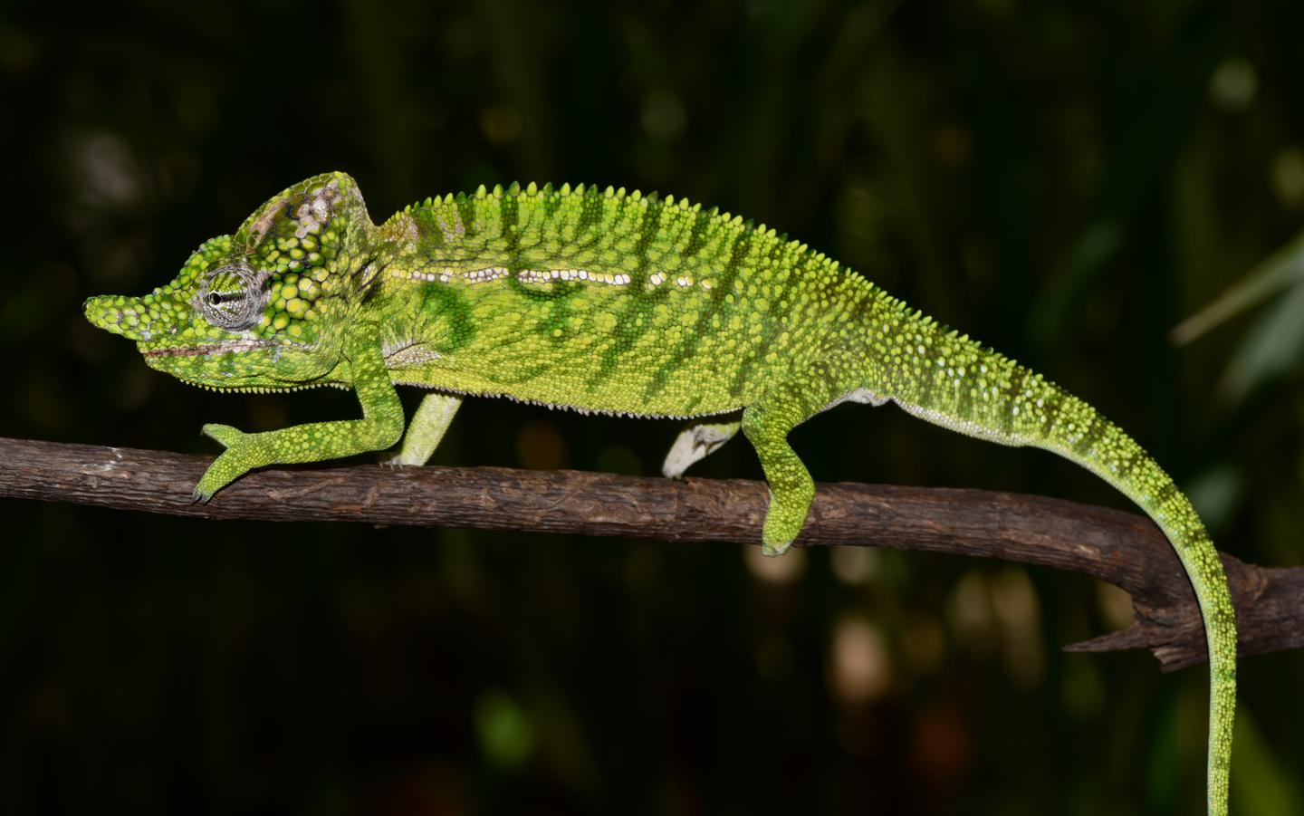 Researchers think Voeltzkow's chameleon lives for only a matter of months
