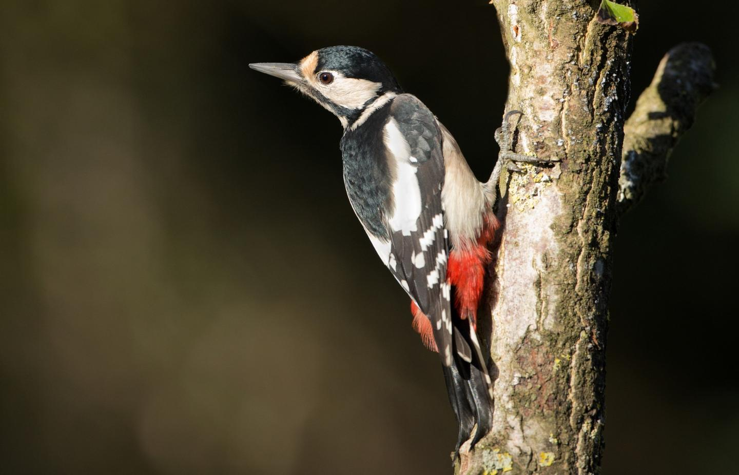 A new study has found a build-up of tau proteins in the brains of woodpeckers – a marker normally associated with brain damage
