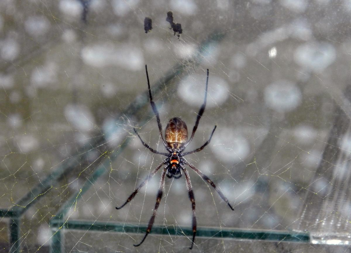 Tanzania's golden orb-weaver spider, whose silk is so strong that fishermen use it as fishing line