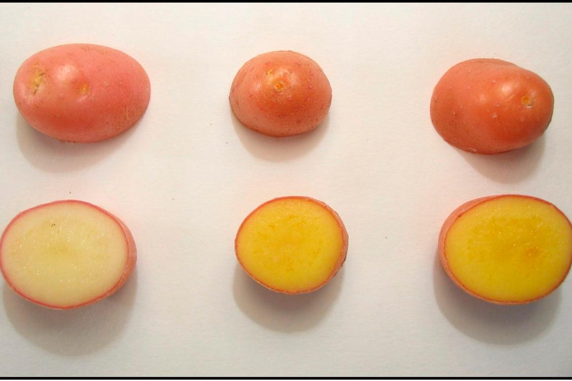 Examples of the golden potato (middle and right), as compared to a regular white potato (left)