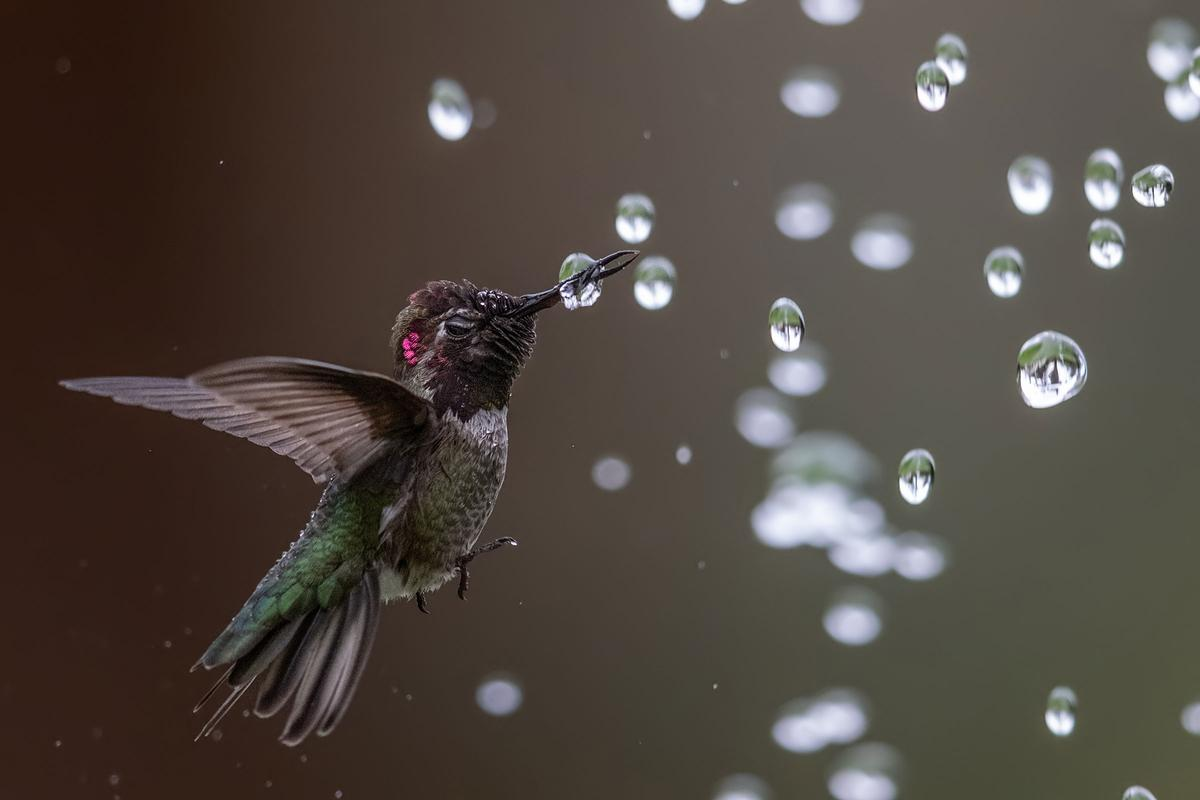 Honorable Mention - Amateur. Anna's Hummingbird. Ardenwood Historic Farm, California, USA