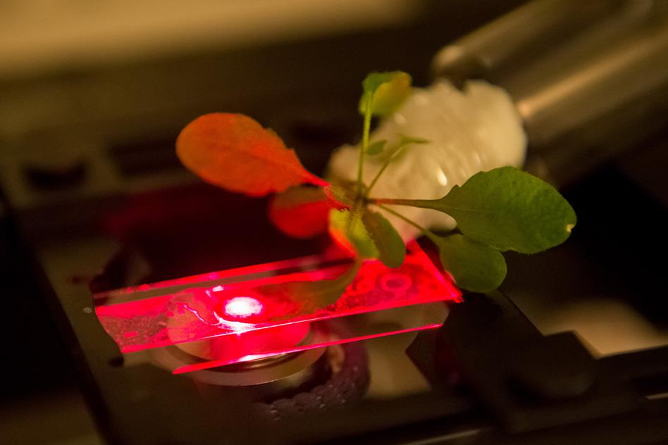 MIT researchers use a near-infrared microscope to read the output of carbon nanotube sensors embedded in an Arabidopsis thaliana plant (Photo: Bryce Vickmark)