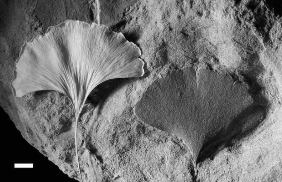 Researchers have used plant fossils, such as this Ginkgo leaf, to determine ancient CO2 concentrations and plot out a record spanning back over 420 million years