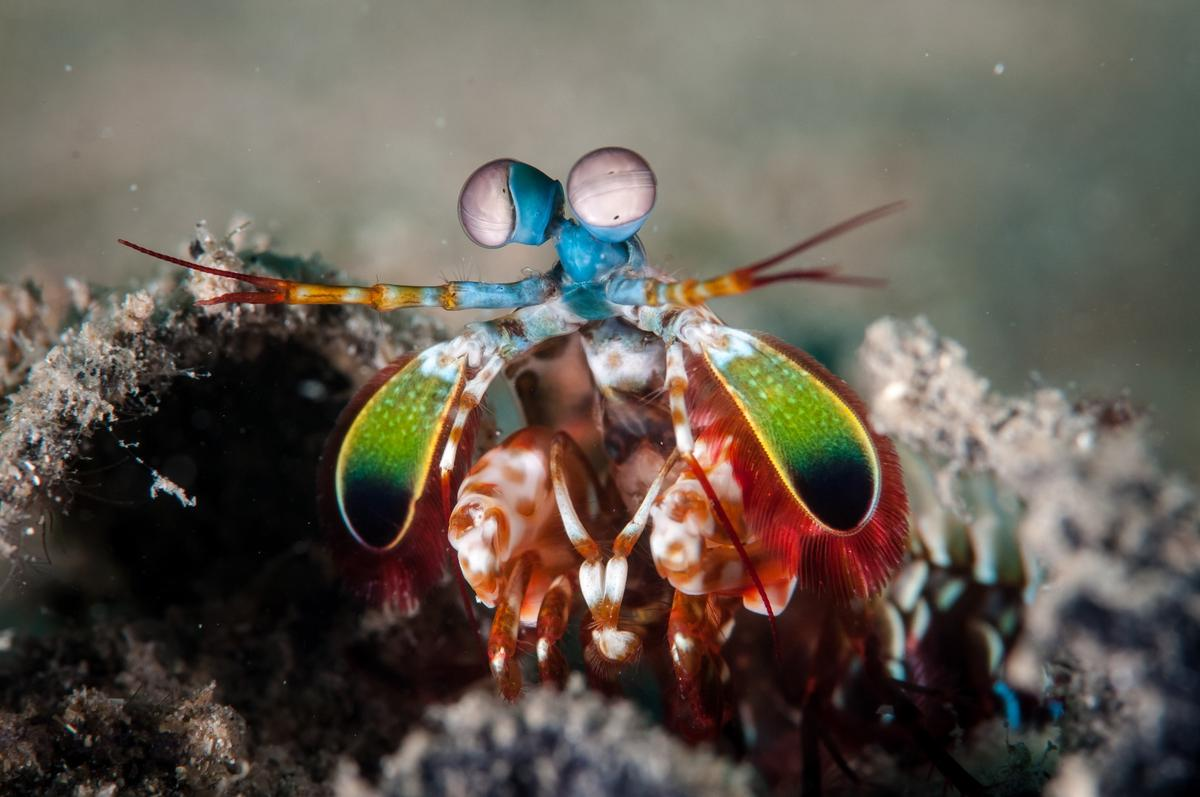 The mantis shrimp is one of the marine animals that provided inspiration for a new underwater navigation system that relies on polarized light