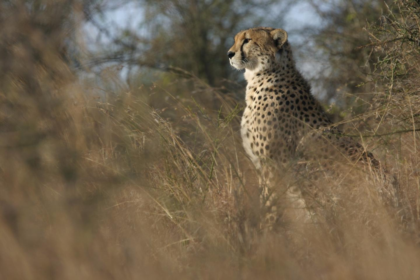 The study represents the most comprehensive analysis of cheetah status to date, according to the researchers