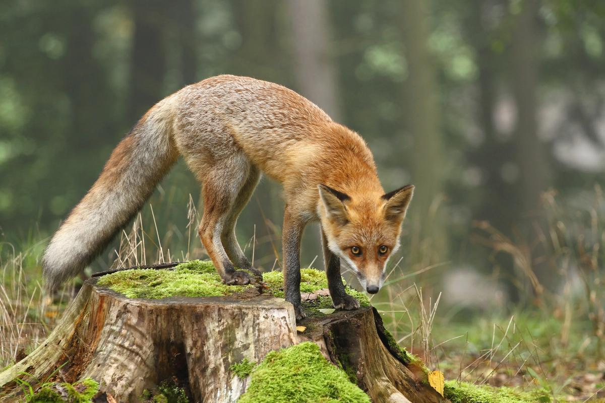 A new study suggests that foxes feeding off human scraps isn't a new phenomenon, providing evidence that they did so more than 40,000 years ago