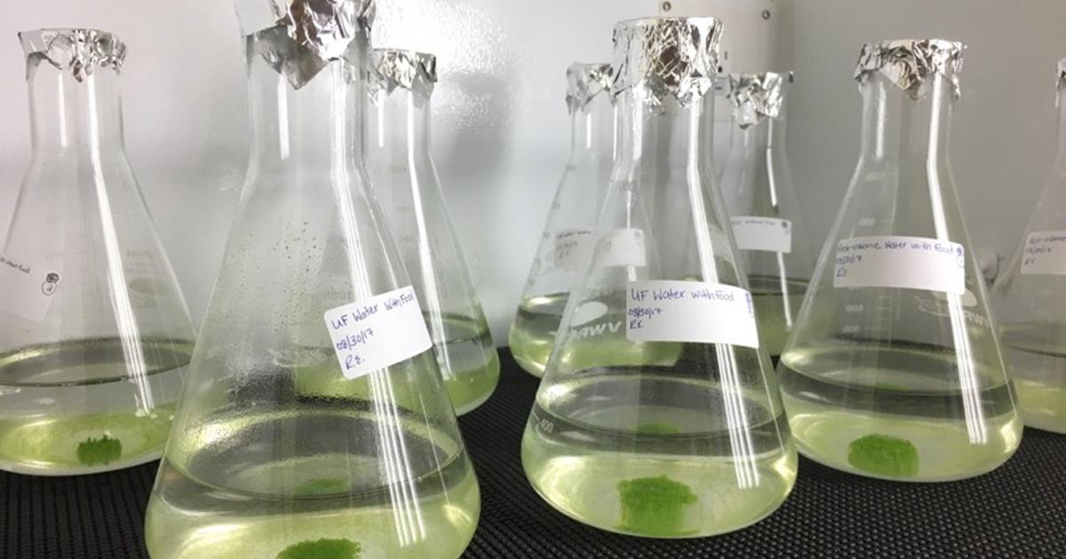 Algae gets enlisted to make wastewater safer