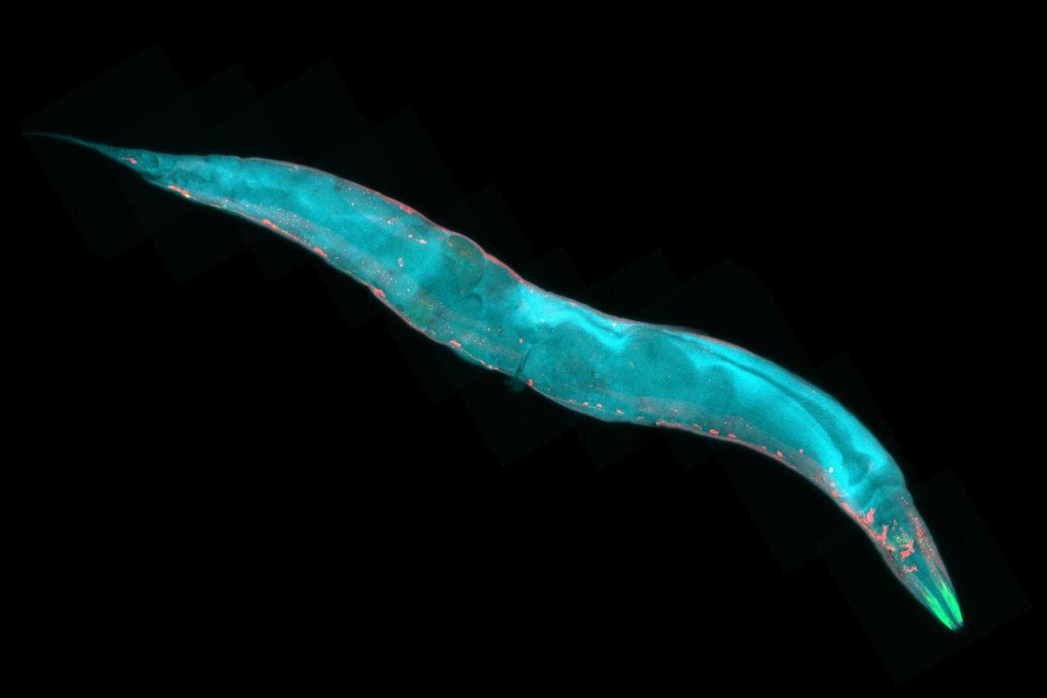 A new robot microscope has been developed toused to study live nematodes