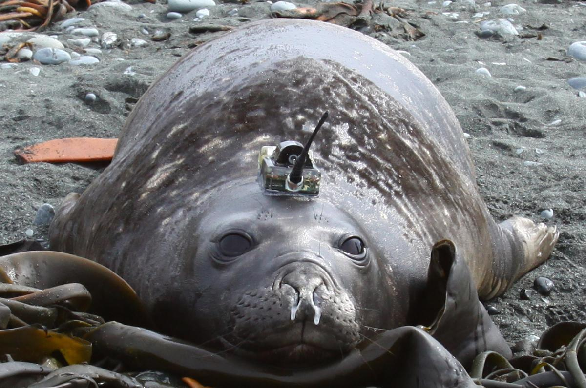 Elephant seal with CTD tag. Photo credit: Chris Oosthuizen