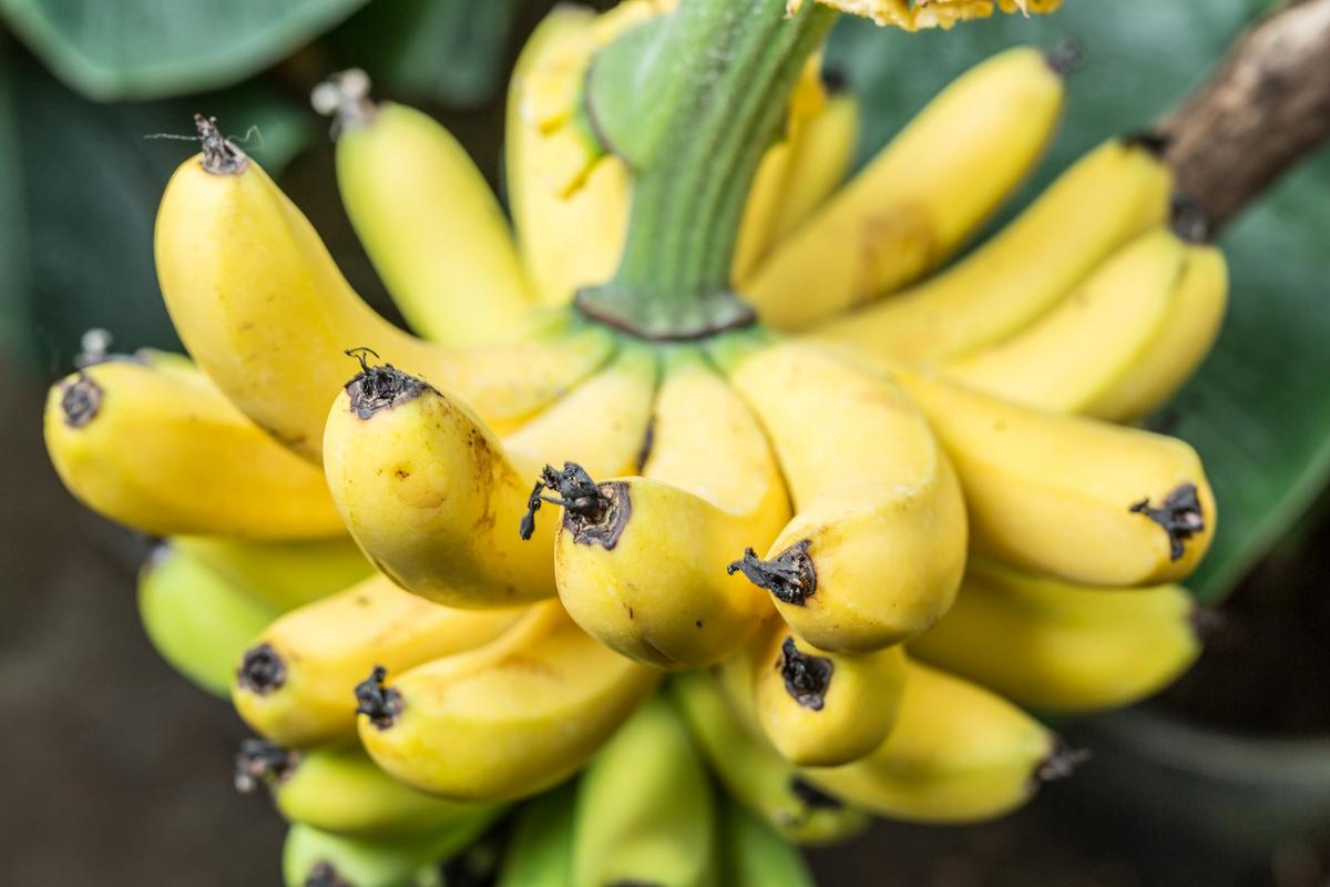 Researchers have developed an AI-powered app that is designed to help combat banana diseases and pests