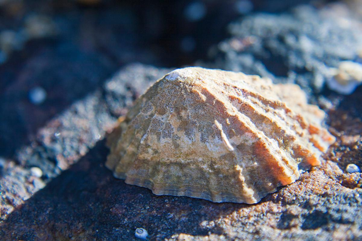 Limpet teeth have bee found to be even strnger than spider silk