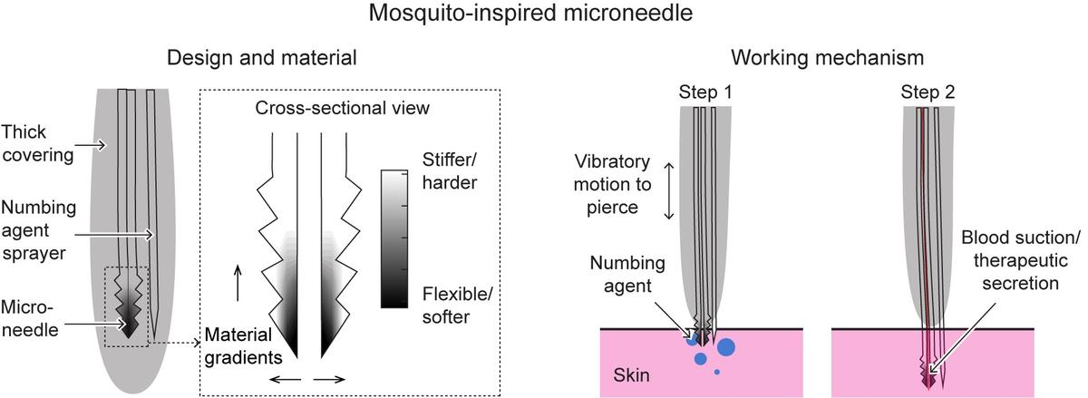 The anatomy of a mosquito-inspired micro-needle