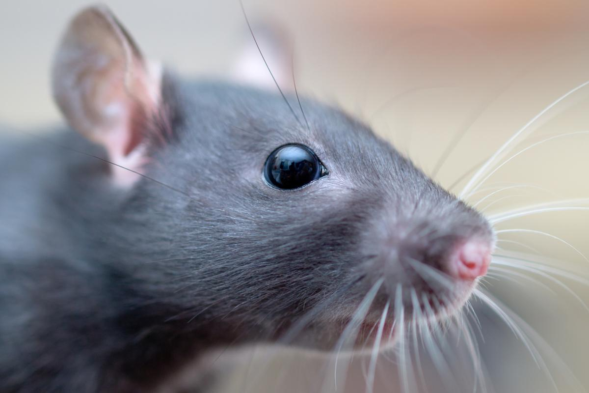 Robotic whiskers inspired by those of animals like rats and seals could assist in navigating dark environments