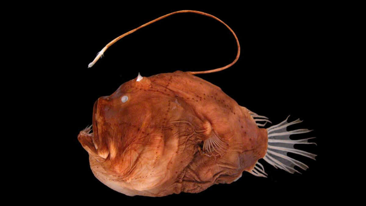 Cornell resesrchers have sequenced the genome of the bioluminescent bacteria that reside in the lightbulbs of anglerfish to figure out their symbiotic relationship