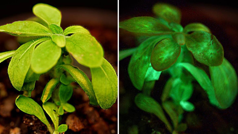 Bioglow's Starlight Avatar plants emit faint light similar in intensity to starlight – hence the name