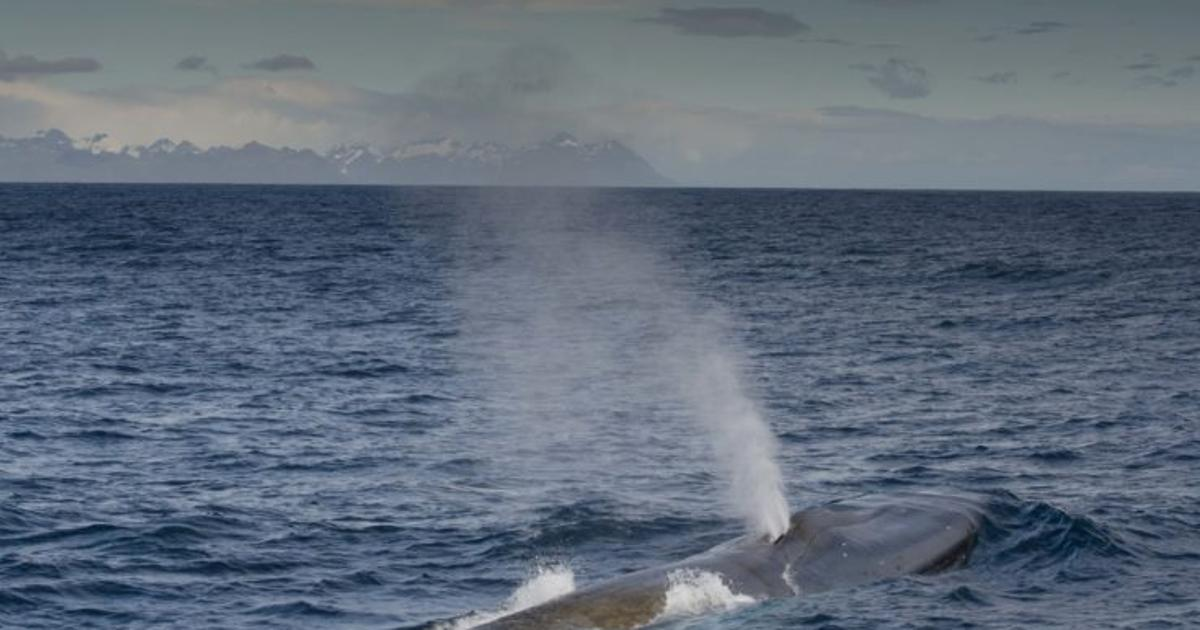 Antarctic survey shows increased blue whale numbers