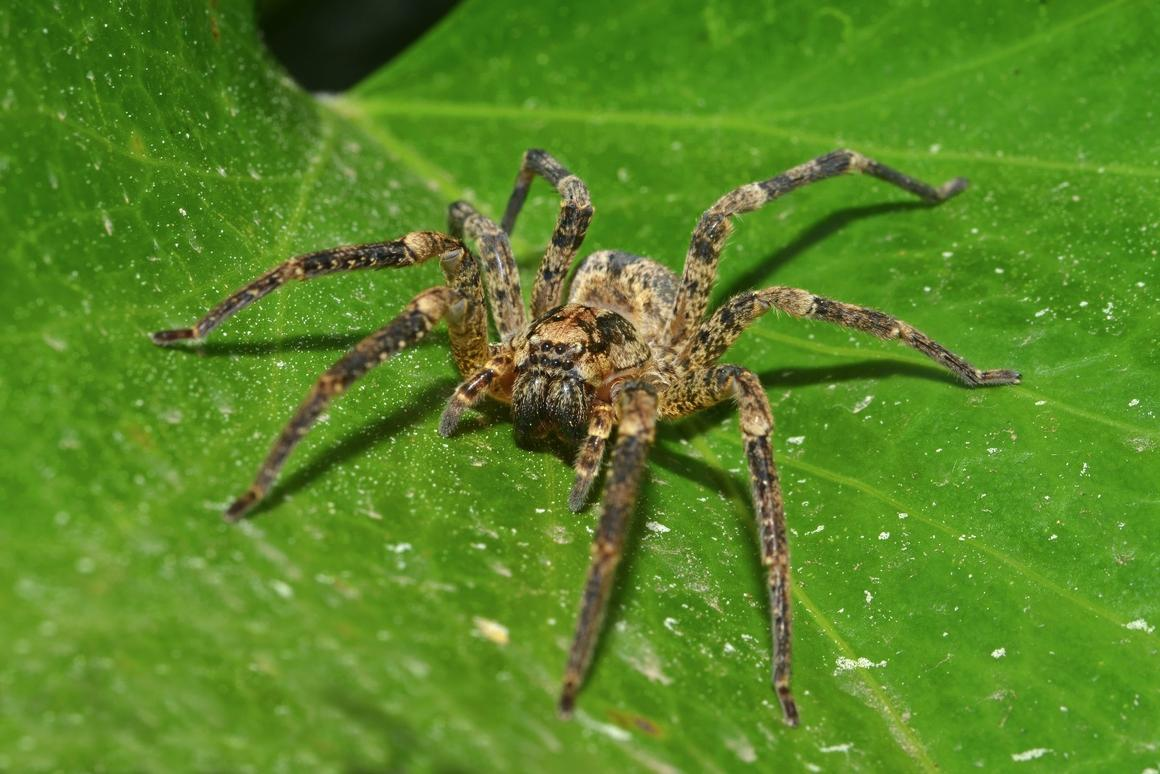 A wolf spider preparing to eat some insects (probably)