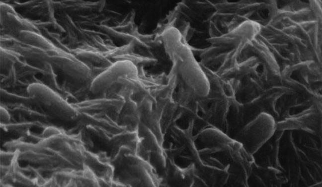 Scientists have determined the molecular structure of proteins that allow bacteria cells to transfer electrical charge, which could be a big step towards more efficient microbial fuel cells (Image: Public Library of Science)