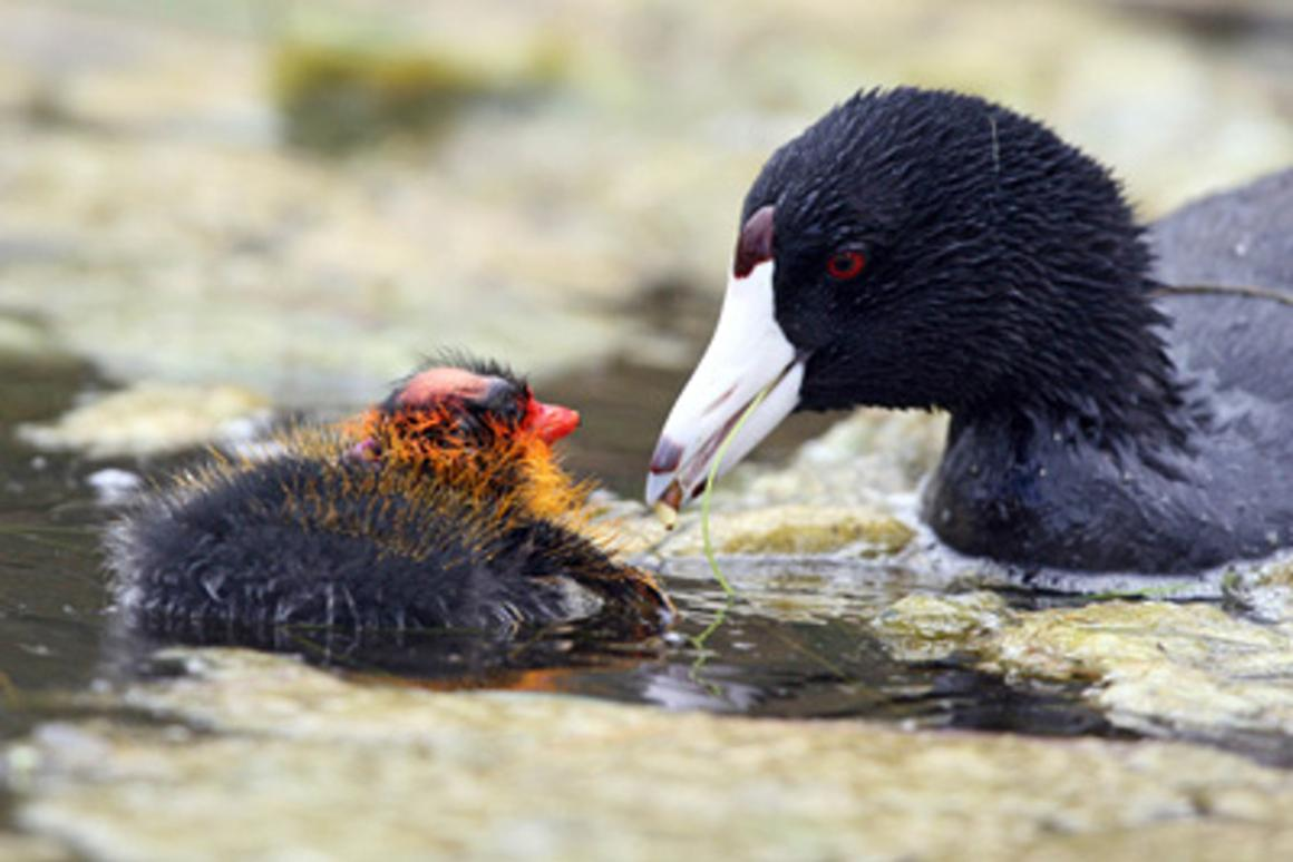 The ornamental plumage in newly hatched American coot chicks is associated with a higher feeding rate for the youngest surviving chicks