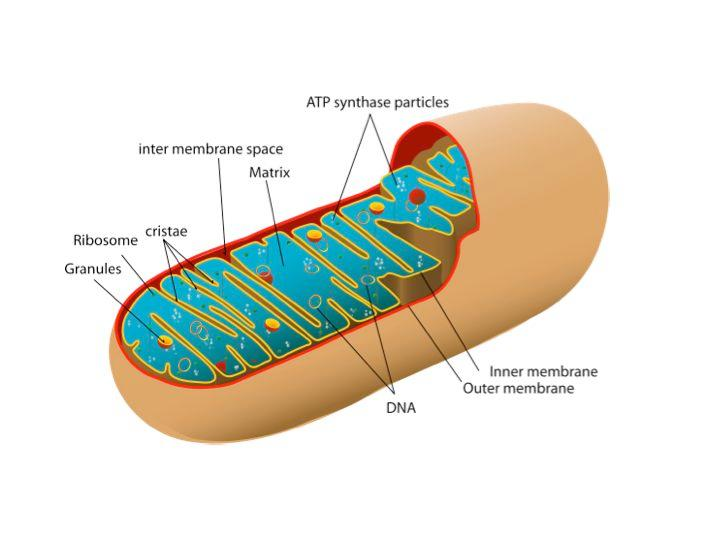 Diagram of a mitochondrion, like those used in the mitochondria biofuel cell