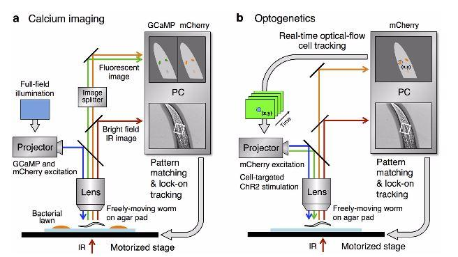 Diagram showing how the microscope tracks and stimulates the worm's nervous system